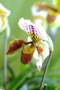 Orchidée papiopédilum JB