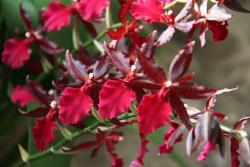 Orchidee-colmanara-massai