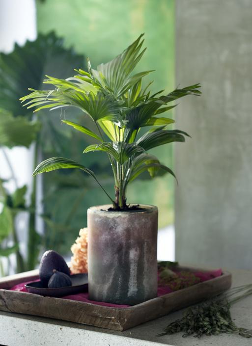 Palmier livistona