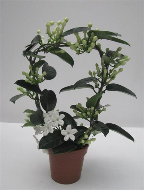Stephanotis_02