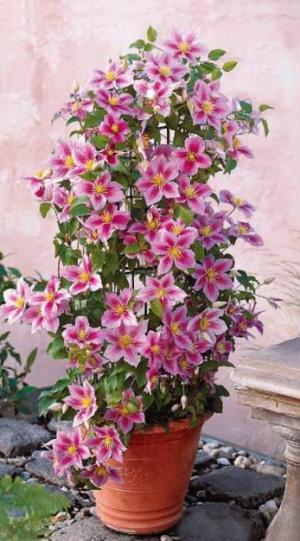 Une plante fleurie grimpante pour terrasse ou jardin la for Plante exterieure fleurie