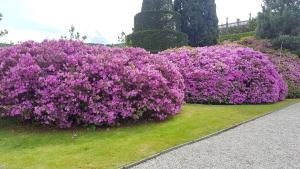 Fleurs des îles Borromées_17