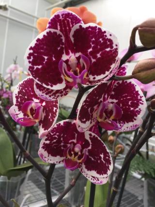 Phalaenopsis-Eduard ter Laak_02