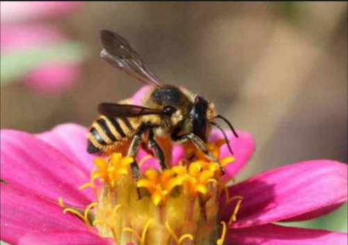 Pollinisation futura-sciences-abeilles2