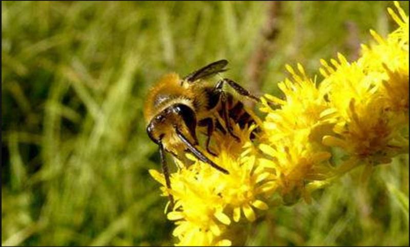 Pollinisation futura-sciences-abeilles