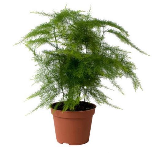 Asparagus-plumosus-00