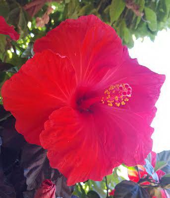 Jb-hibiscus_07