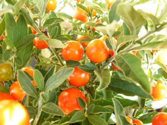 Solanum-details