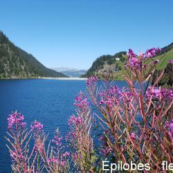 Epilobes fleurs