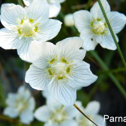 Parnassie_02