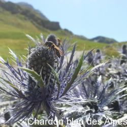 Chardon bleu des Alpes_02