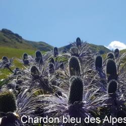 Chardon bleu des Alpes_01