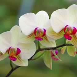 Phalaenopsis _02