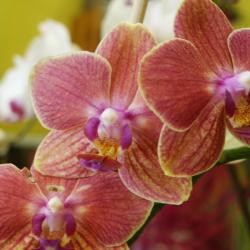 Phalaenopsis _06