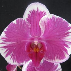 Phalaenopsis _05