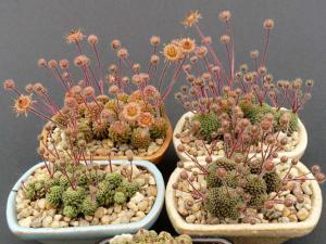 Succulentes-Monanthes-polyphylla
