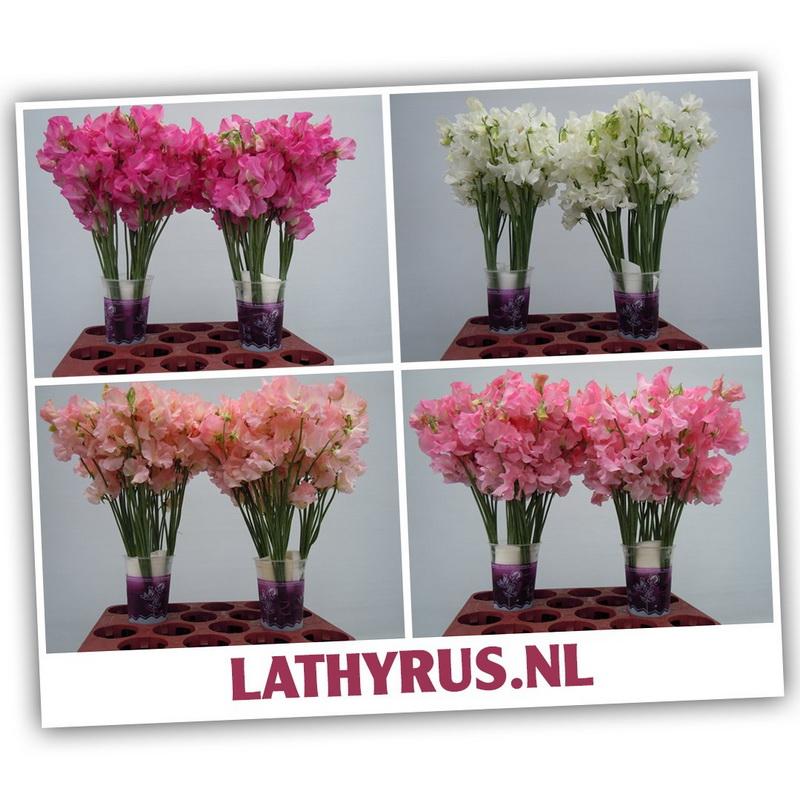 Lathyrus_04