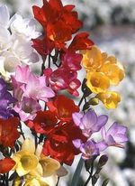 Freesia_single_melanges