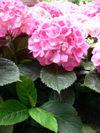 Hydrangea_hortensia_06_2