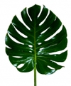 Monstera_feuille