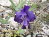 Iris_10