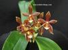 Phalaenopsis_mannii_red