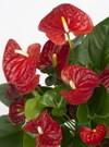 Anthurium_andreanum_plante