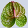 Anthurium_york_city_2