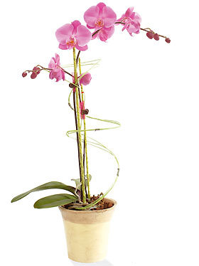 Interflora_phalaenopsis