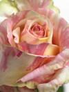 Rosefiesta_01