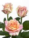 Rosefiesta_02