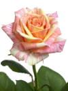 Rosefiesta_03