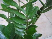 Zamioculcas_zamiifolia