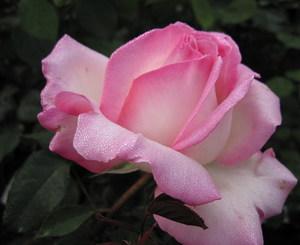Roseprincessedemonaco