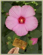 Hibiscus_mauvelous_03