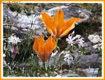 Lys_orange_02