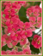 Euphorbia_03