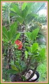 Euphorbiaepines_du_christ