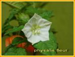 Physalis_fleur_01