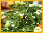 Solanum_pommier_damour_01