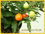 Solanum_pommier_damour_02
