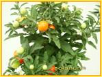 Solanum_pommier_damour_03