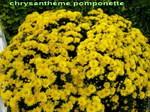 Chrysantheme_pomponnette