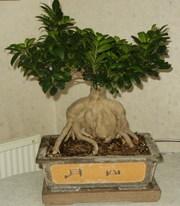 Ficus_microcarpa_gingseng_02
