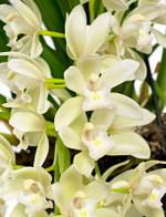 Orchide_cymbidium_icecascade_01