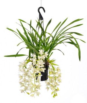 une nouvelle orchid e cymbidium le pouvoir des fleurs. Black Bedroom Furniture Sets. Home Design Ideas