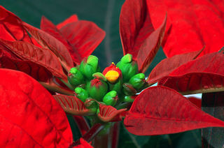 Poinsettia_detail