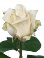 Rose_contour_01