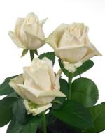 Rose_contour_03