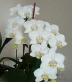 Phalaenopsis_50